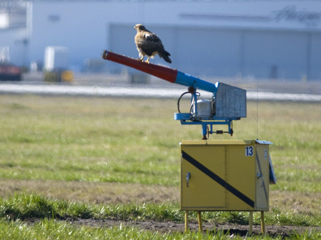 Resident red-tailed hawks are habituated to the PDX cannons. This sound system is more effective in dispersing migrants from the airfield.