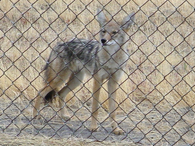 Coyote outside the airfield fence.